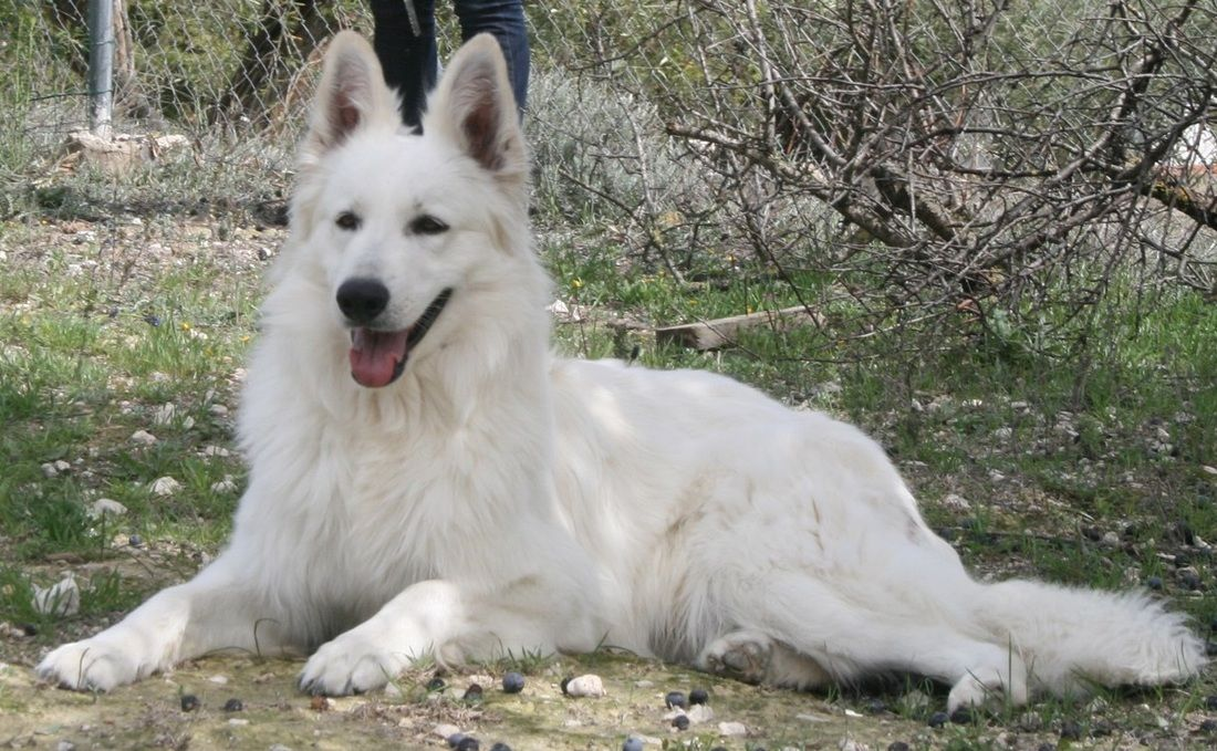 Justice Sereno Spirit White Swiss Shepherds Berger Blanc Chien Loup Chien