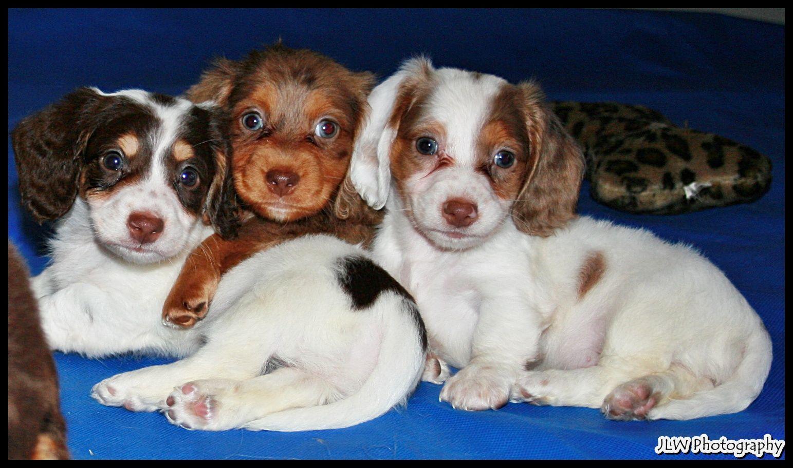 Dachshund Nursery Dachshund Puppies Nursery Room Dachshund