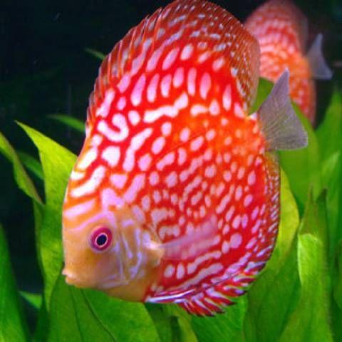 Red Pigeon Discus Aquarium Fish Colorful Fish Discus Fish