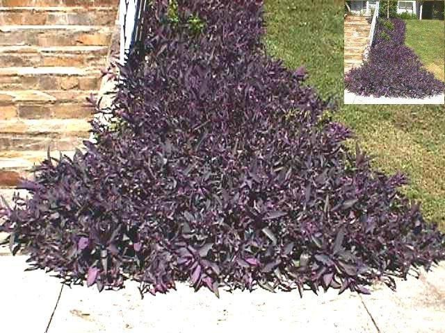 Purple Plants Name Wandering Jew Additional Common Names Sdy Henry Variegated Scientific