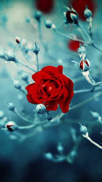 Desktop Red Rose Hd Images New On Of Mobile Full Hd Wallpaper