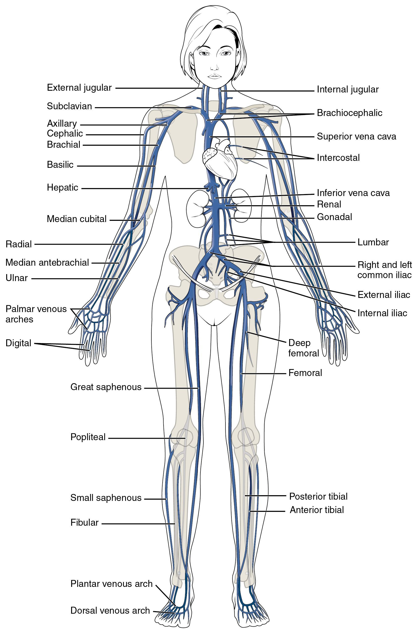 small resolution of superior body diagram unlabeled data diagram schematic superior body diagram unlabeled
