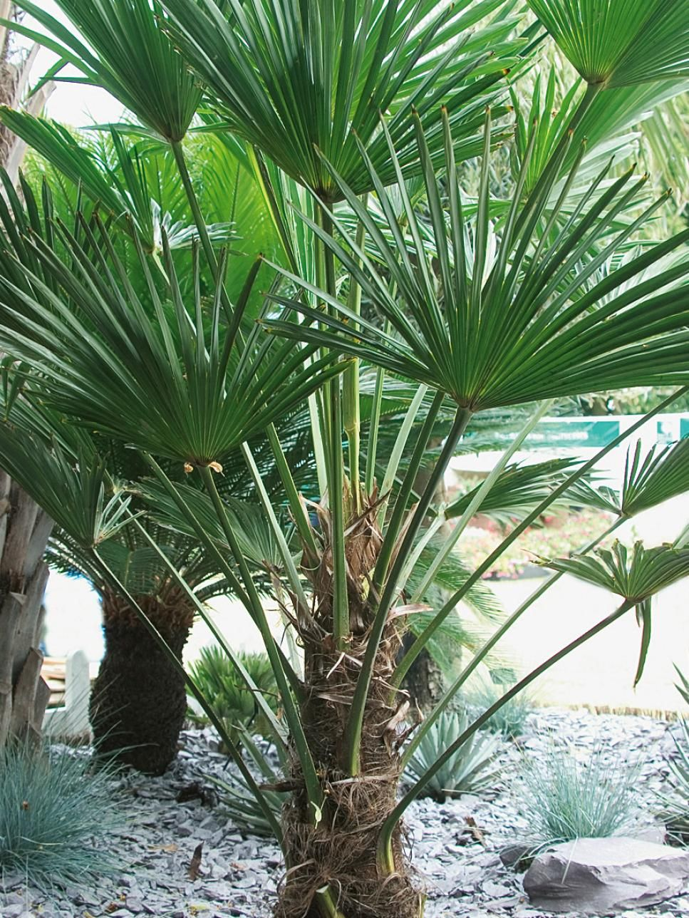 foolproof winter-hardy tropical