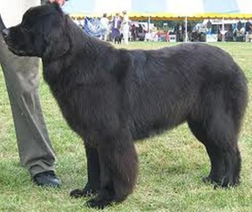 Largest Dog Breed In The World Black Hair Dog Breed Finders Working Dogs Breeds Large Dog Breeds Dog Breeds
