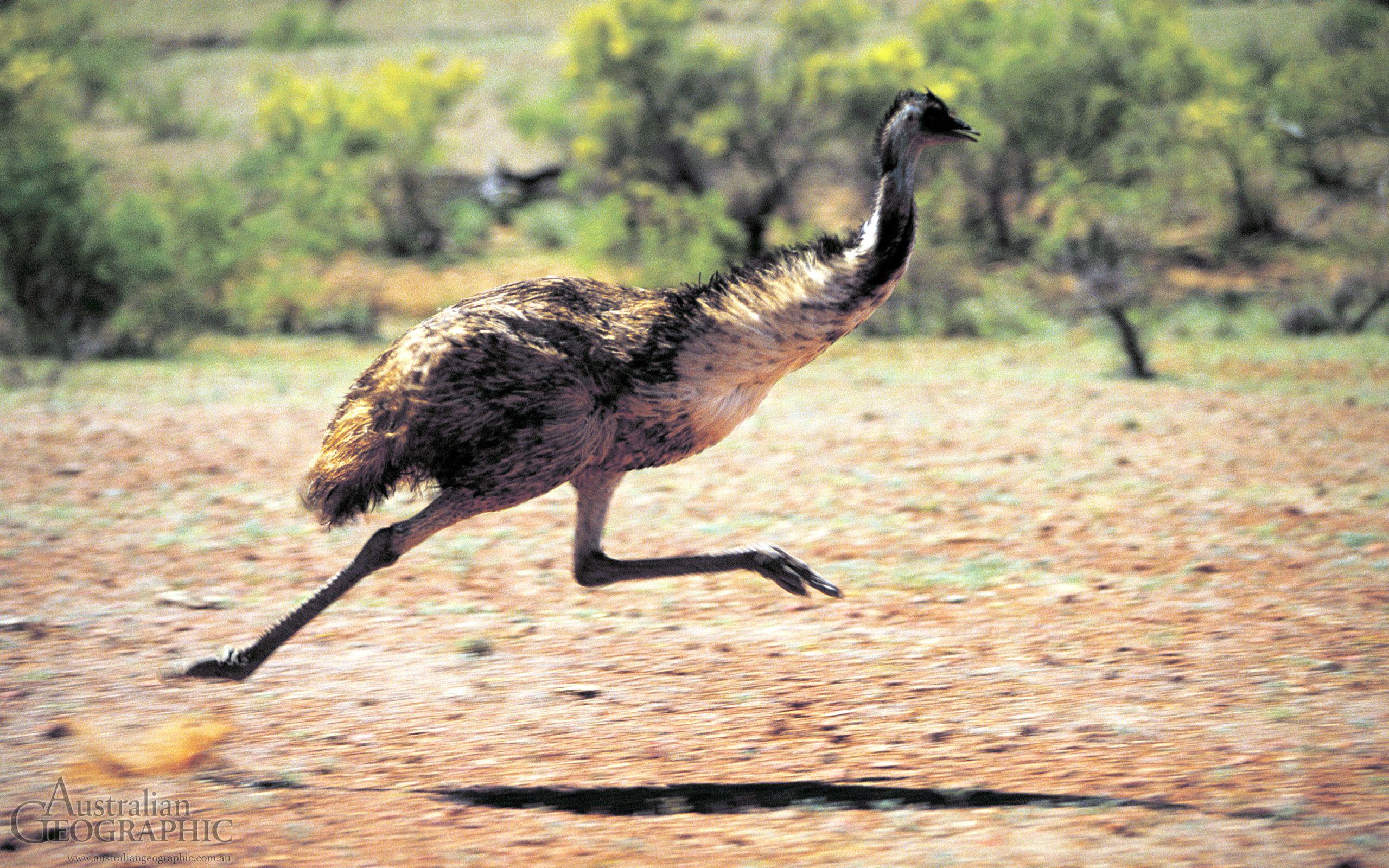 running emu Australian native animals, Animals