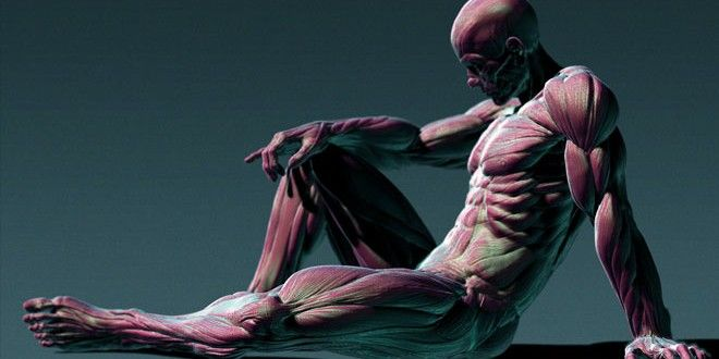 Human-Anatomy-3D-Sculpting-in-Zbrush-by-Painzang | Musculos ...