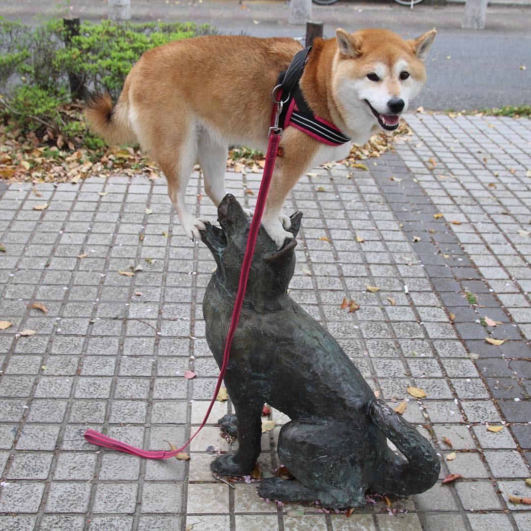 Ummmmm Jumped onto ur friend... Good valance #shiba#shibe#shibainu#shibainuuni#shibalovers#shibaoftheday#shibastagram#instashiba#lovepets#lovedogs#loveshiba#dog#doge#doglovers#uni#unistagram#dogstagram#instagood#love#tokyo#japan#happyface#unihalo#柴犬#柴犬うに#dogoftheday#うに#うにはろ