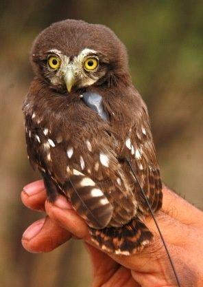 Pygmy Owl http://bit.ly/I7rvy0