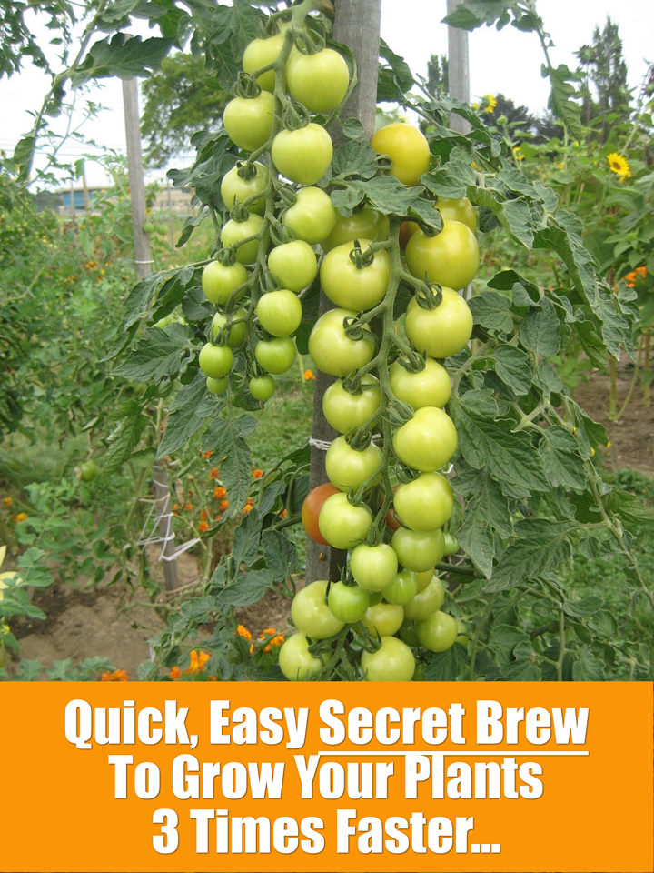 Quick  Easy  Secret Brew To Grow Your Plants 3 Times Faster    http. Quick  Easy  Secret Brew To Grow Your Plants 3 Times Faster