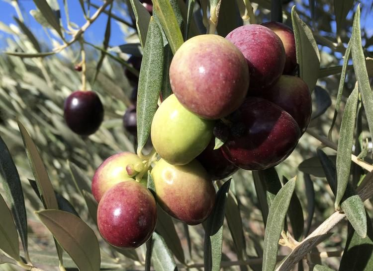 Pin by Cobram Estate USA on In the Groves in 2020
