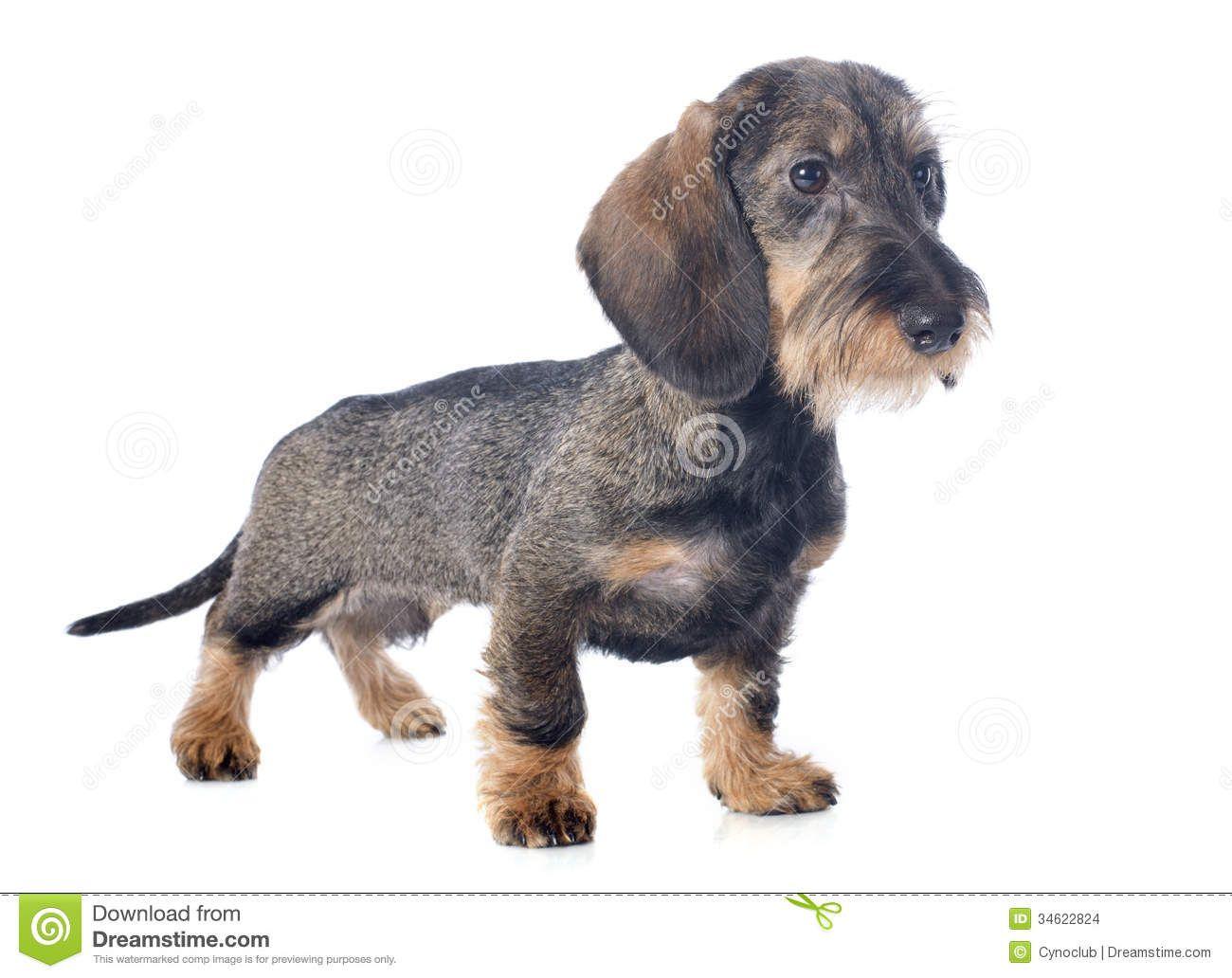 puppy-wire-haired-dachshund-front-white-background-34622824.jpg ...
