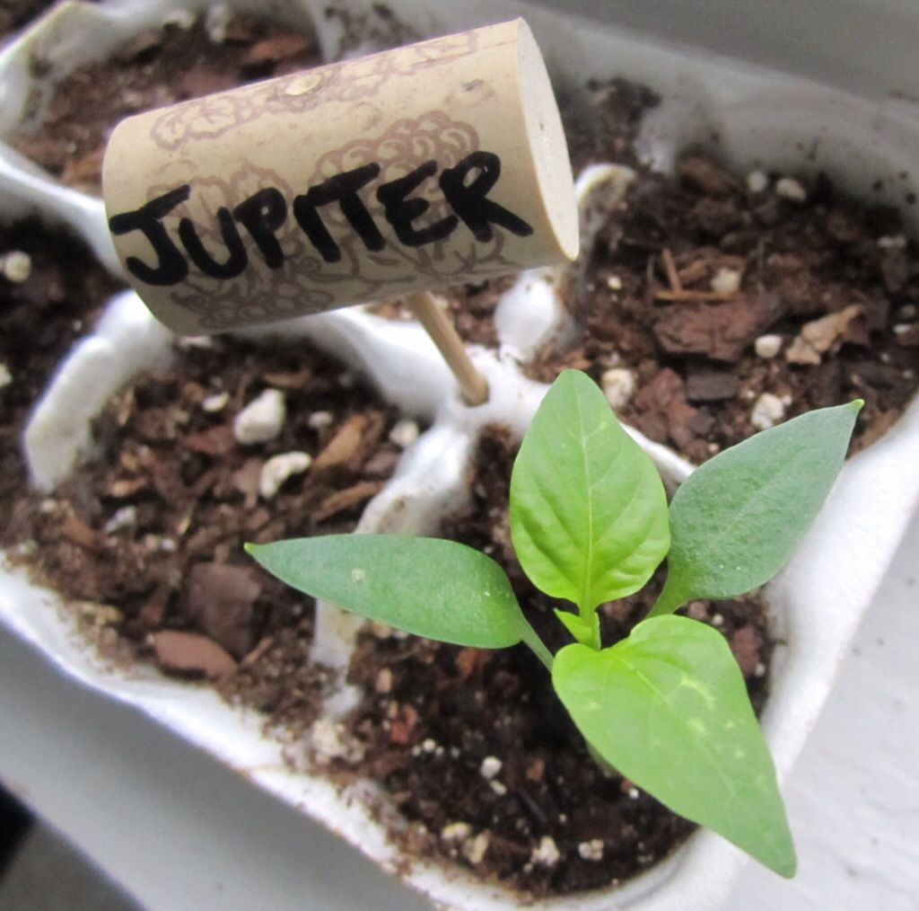 Starting Pepper Plants Indoors For Florida Fall Gardening