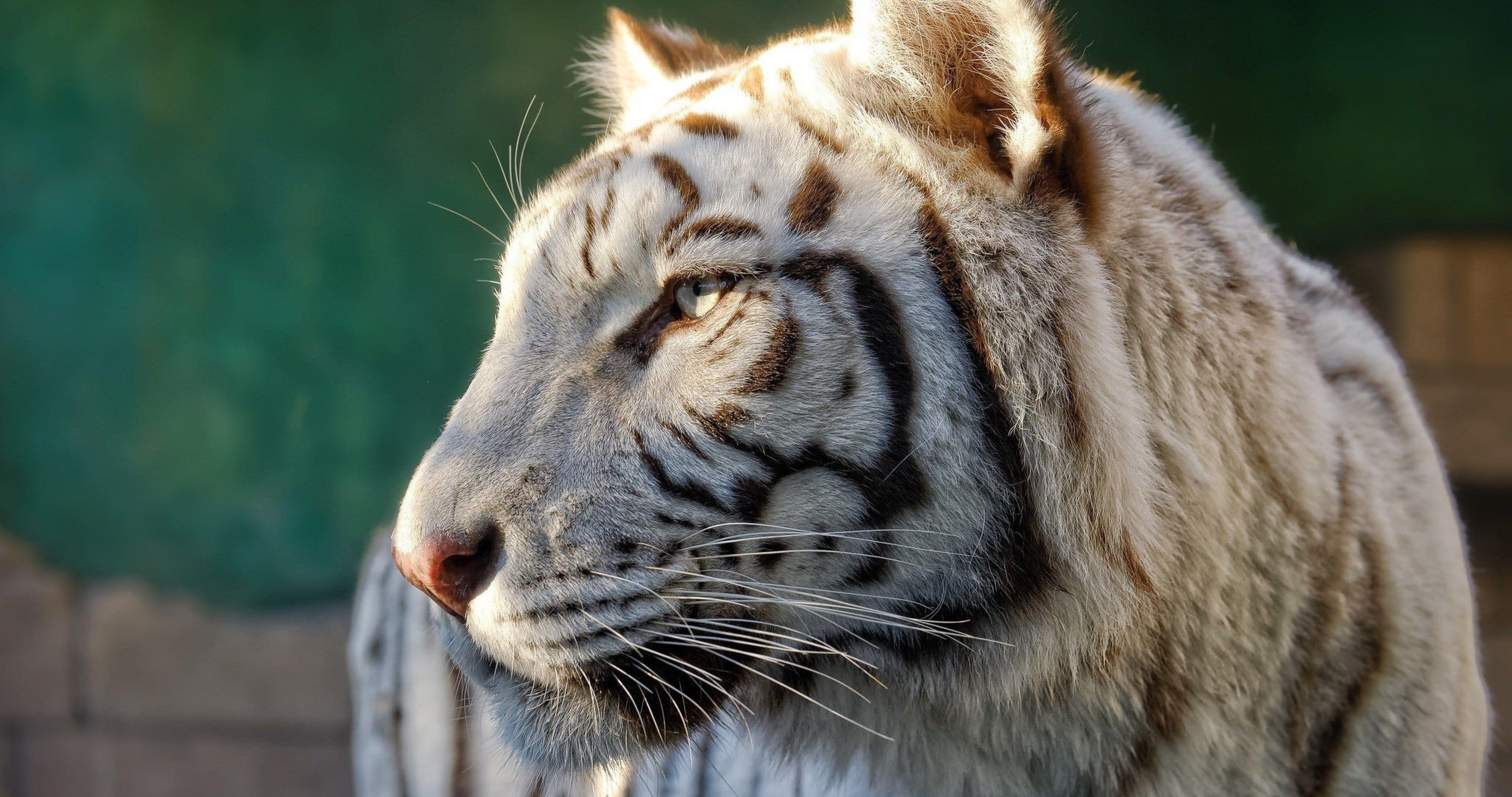 Profile White Tiger 4k Ultra Hd Wallpaper Tiger Profile Tiger Hd Wallpaper