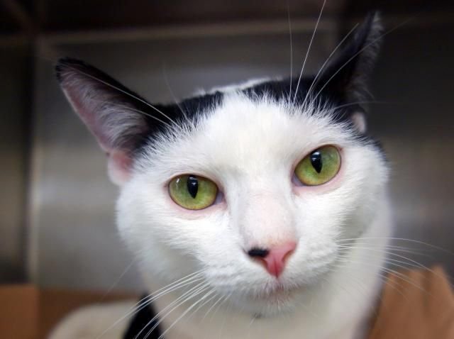Daisy A1055387 Cats And Kittens New York Animals Your Pet