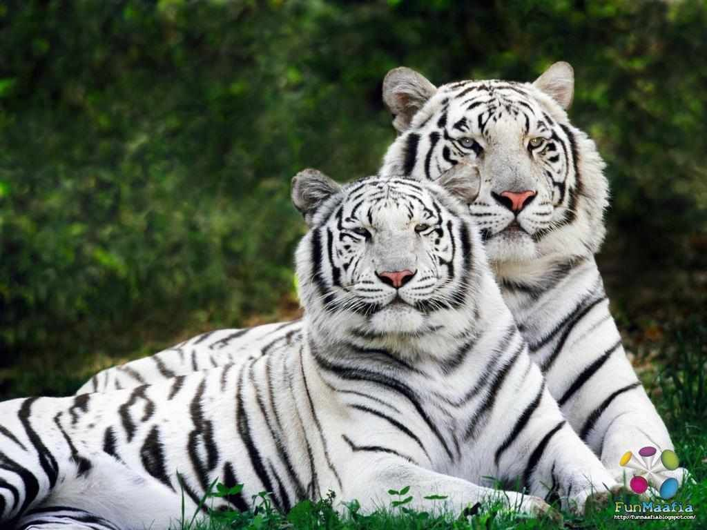 Wild Animals Wallpapers Hd Cool Wallpapers Cool Wallpapers Tiger Pictures Wild Animal Wallpaper White Tiger