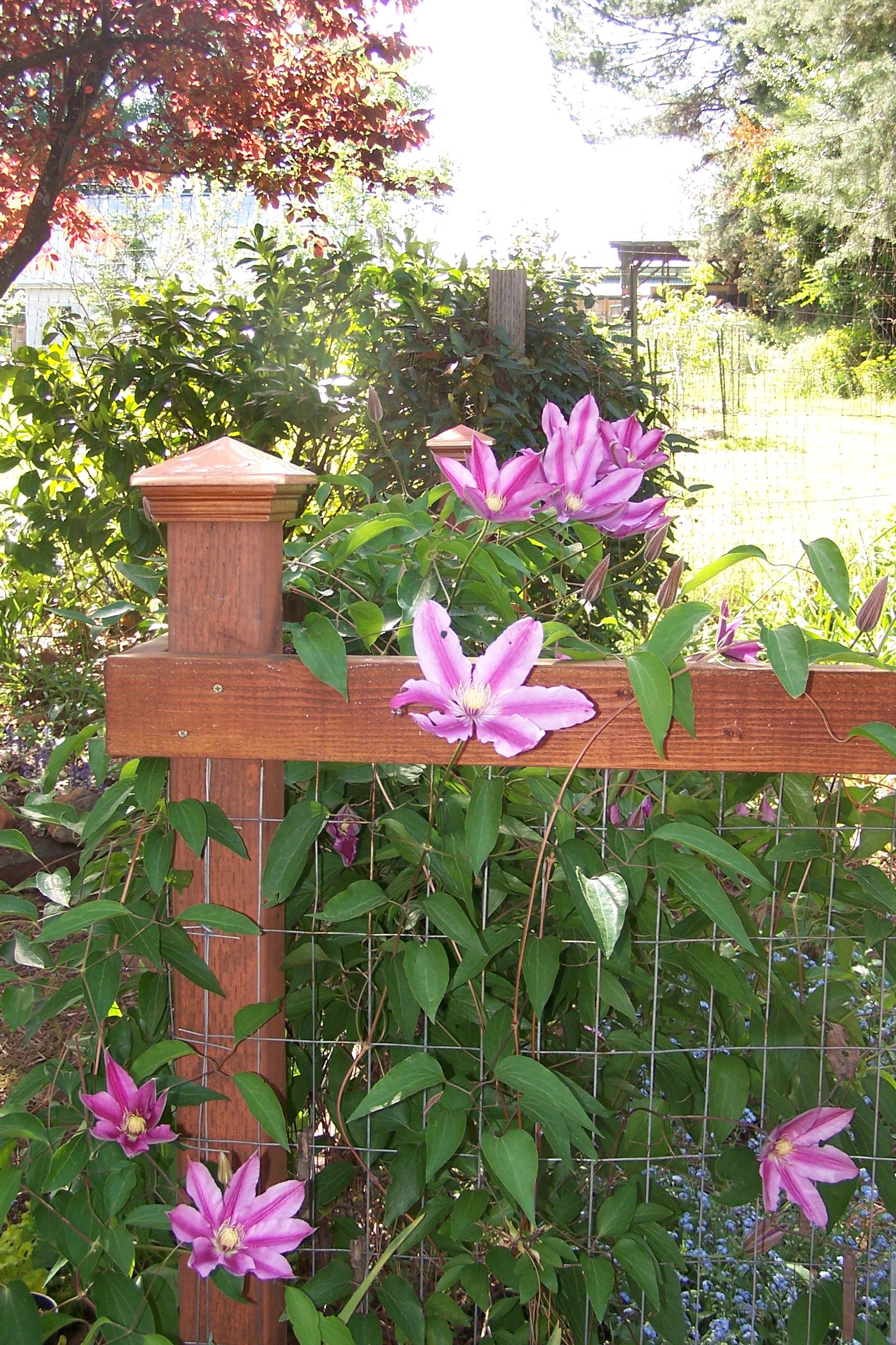 Clematis 'Sugar Candy' on garden fence