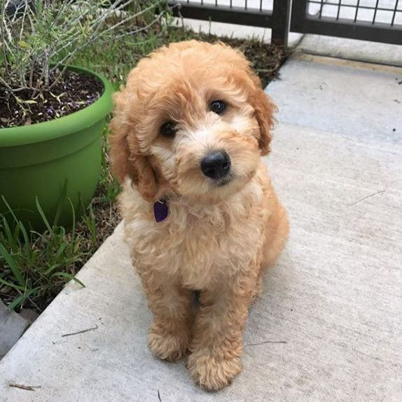 Zoothedood The Australian Labradoodle Pup Just Melts Our Hearts