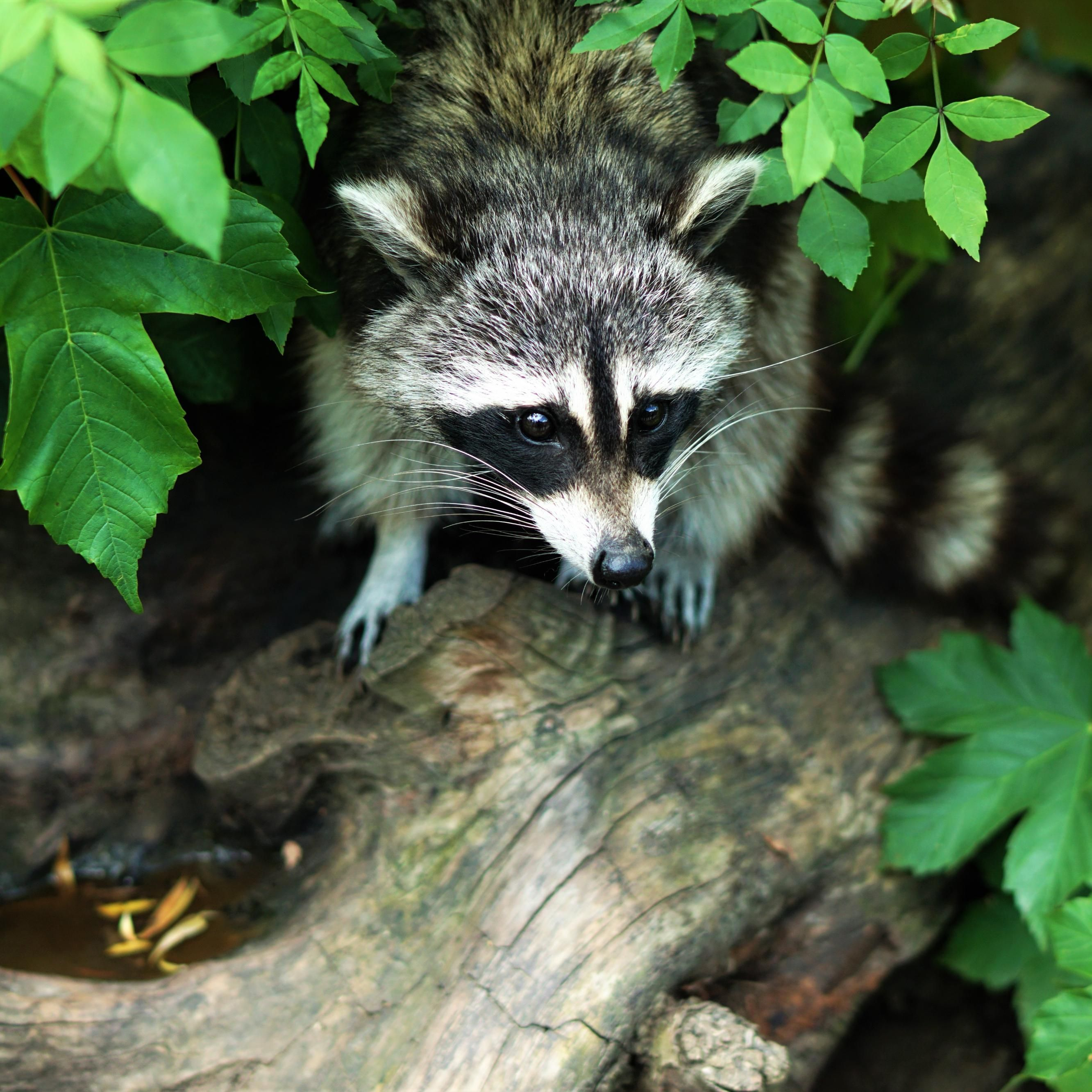How To Keep Raccoons Out Of Your Home Animals, Baby raccoon