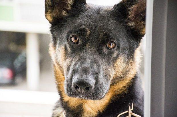 Understanding Separation Anxiety in German Shepherds - German Shepherd World