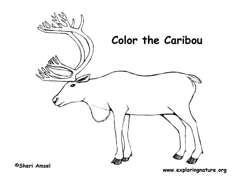 Caribou Caribou Coloring Pages Coloring Pictures