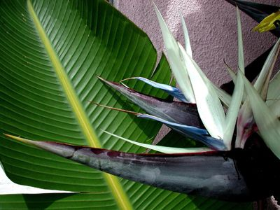 Black Bird of Paradise ~ I have these in my backyard, they are huge and gorgeous.