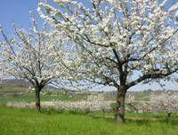 Bing Cherry Tree Tree Cherry Tree Bing Cherries