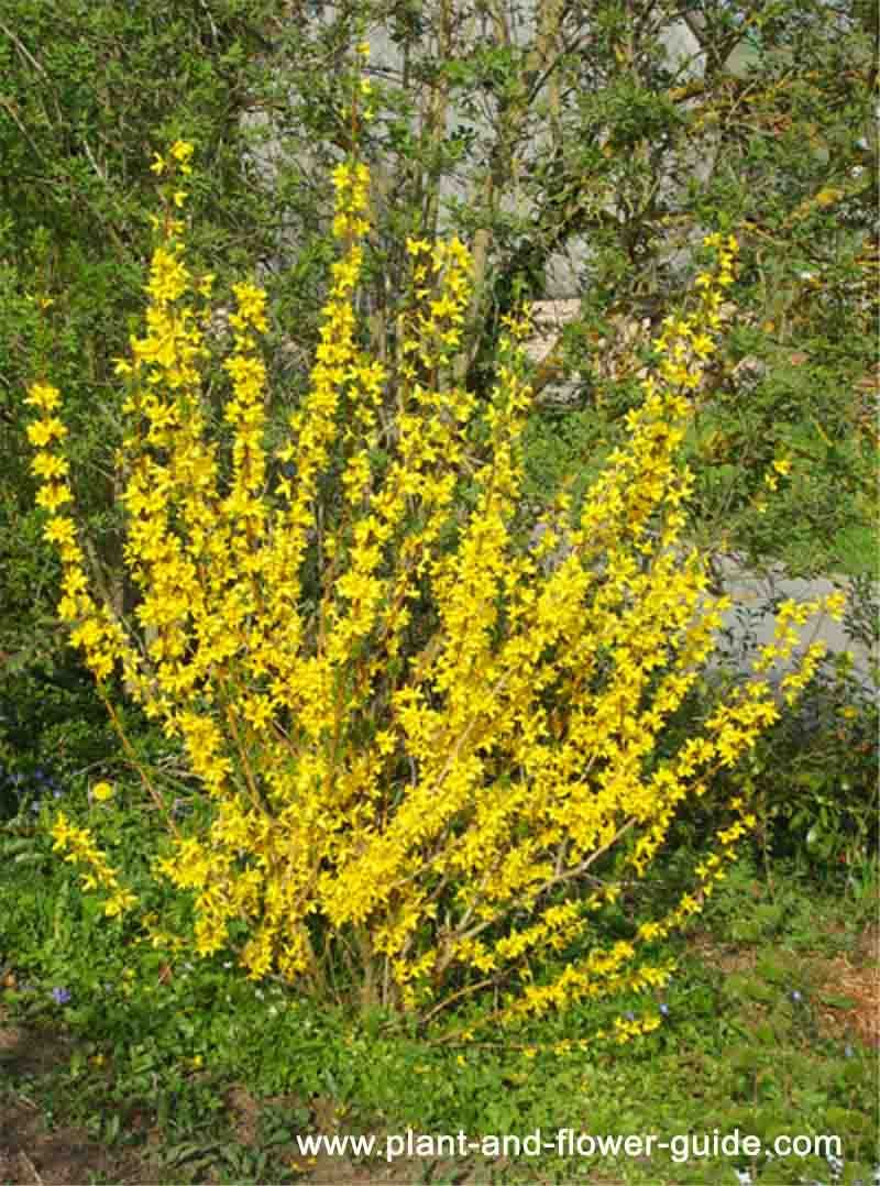 Forsythia Bush Bright Yellow Spring Flowers Seen This All Over