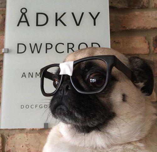 Pug With Glasses Pugs Cute Pugs Pug Life