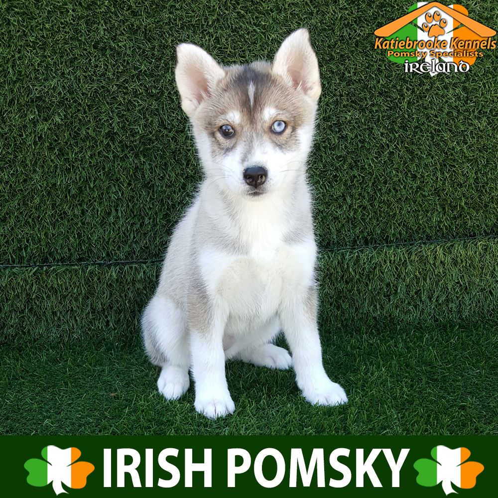 Pomsky Puppy For Sale Pomsky Puppy Geneva Katiebrooke Kennels Pomsky Puppy Specialists Ireland Pric Pomsky Puppies Pomsky Puppies For Sale Puppies For Sale
