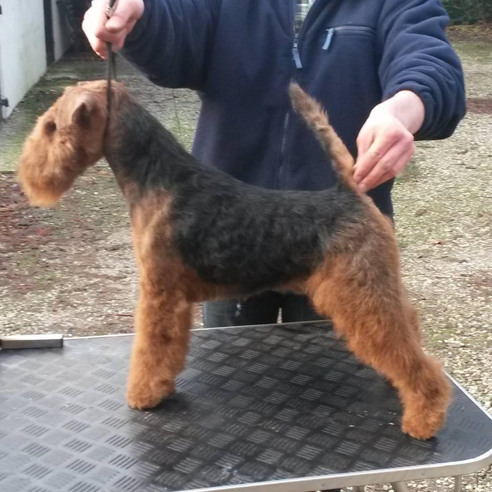 High Flyers Gold Digger 15mnd Oud Welsh Terrier Terrier Dog Breeds