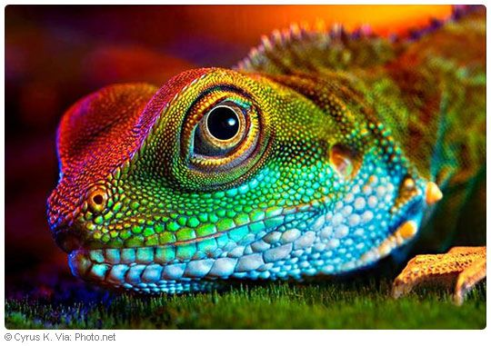 Colorful Pet Lizards colourful-lizar...