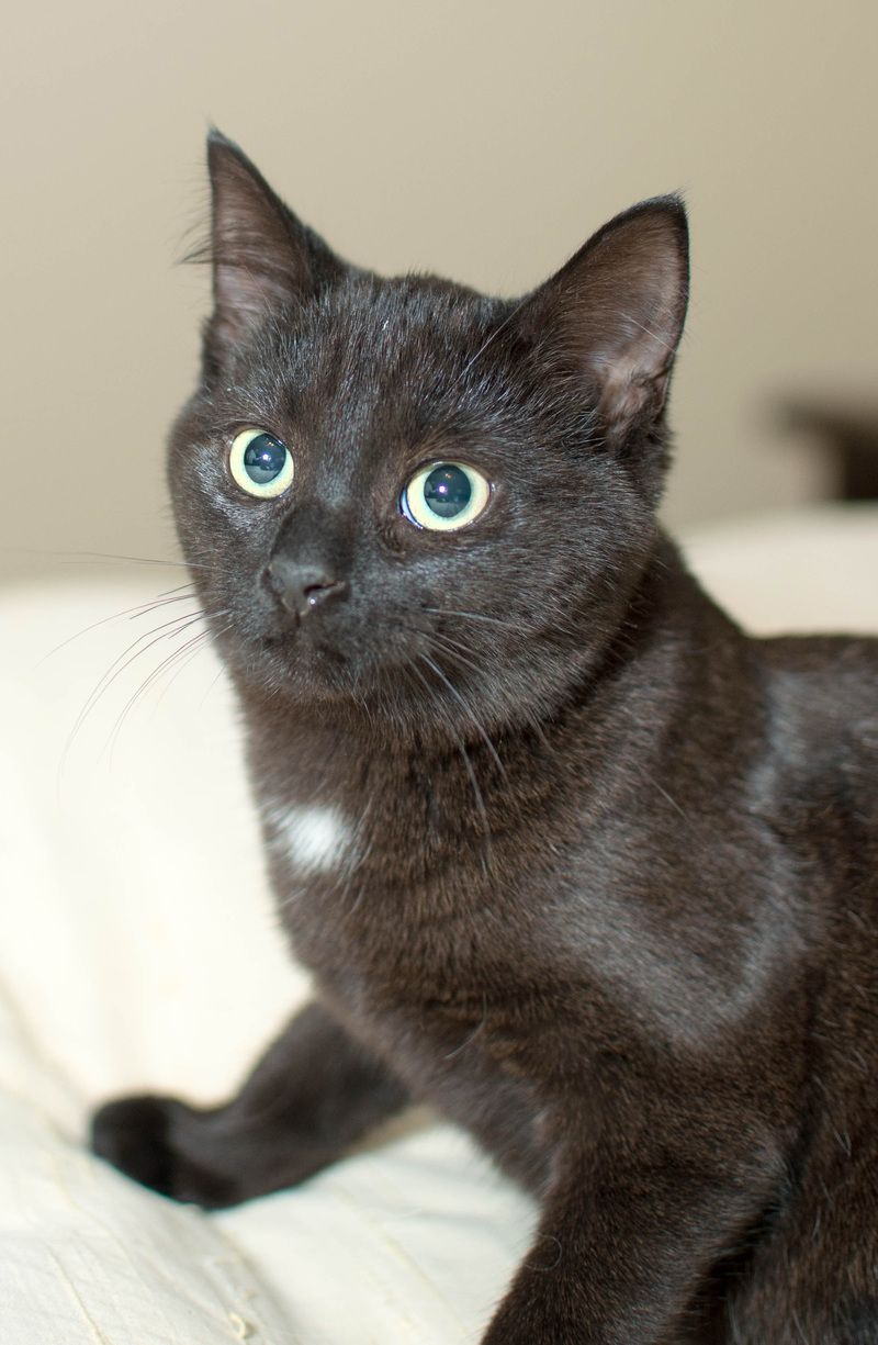 Adopt Estherat Petsmart in Woodhaven! on Brown cat