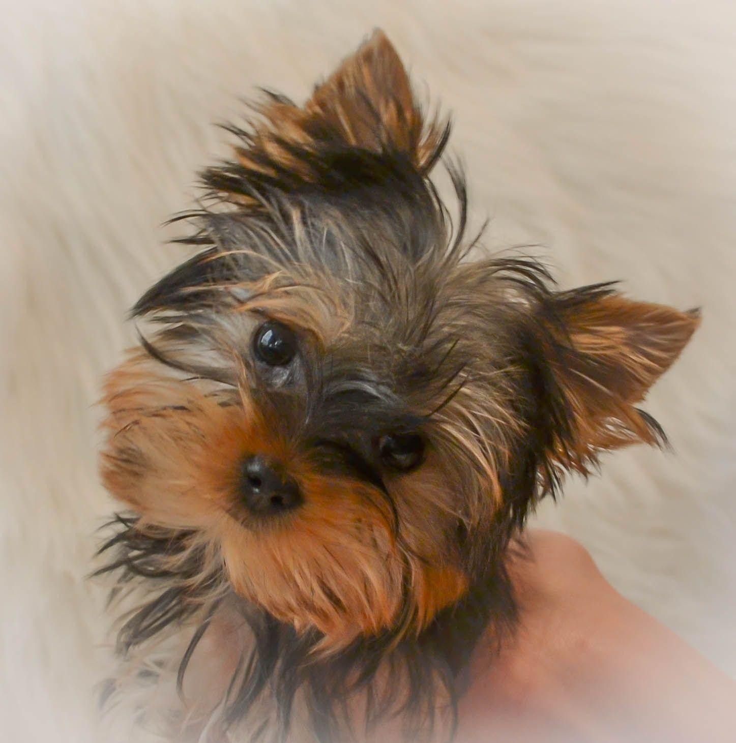 Cutest yorkie! Sadie!!! Cute Pets Yorkie puppy, Teacup