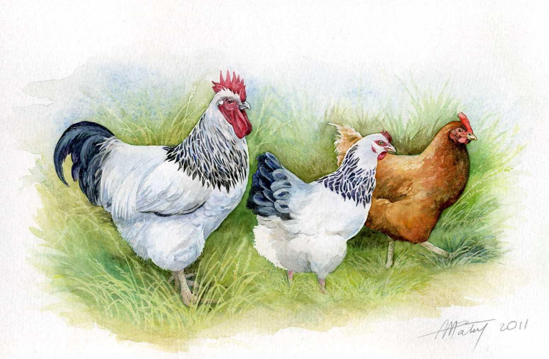 Картинки петуха и курицы, открытое