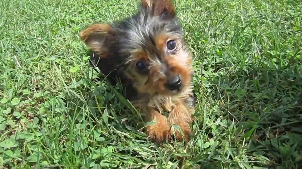 Teacup and Small Yorkies for Sale in Missouri 1 hr from St