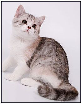 British Shorthair Cat Black Torbie Silver Spotted With White Bi