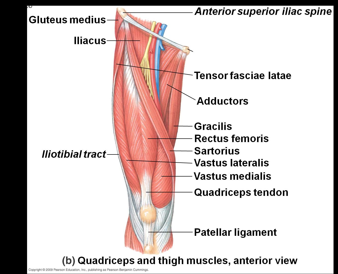Quadriceps Muscles   Quadriceps Muscle   muscle   Pinterest ...