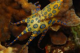 Blue Ringed Octopus For Sale Google Search Poisonous Animals Octopus Water Animals