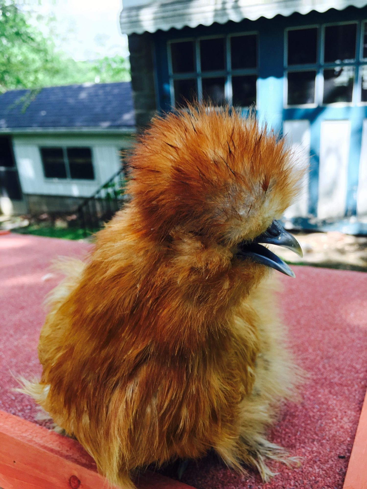 this is butterscotch a 4 5 month old russet colored silkie pullet