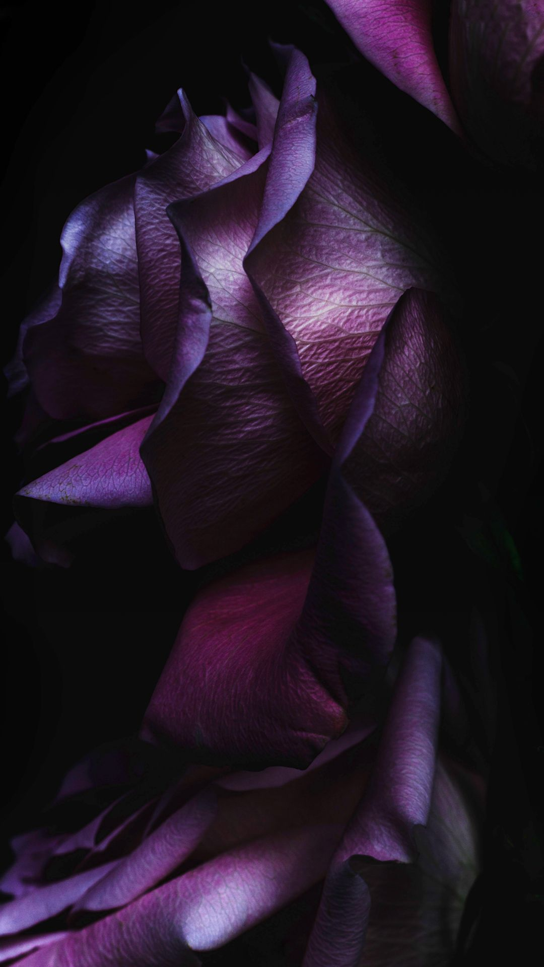 Ios9 Purple Rose Flower Art Wallpaper Iphone 6 Wallpaper