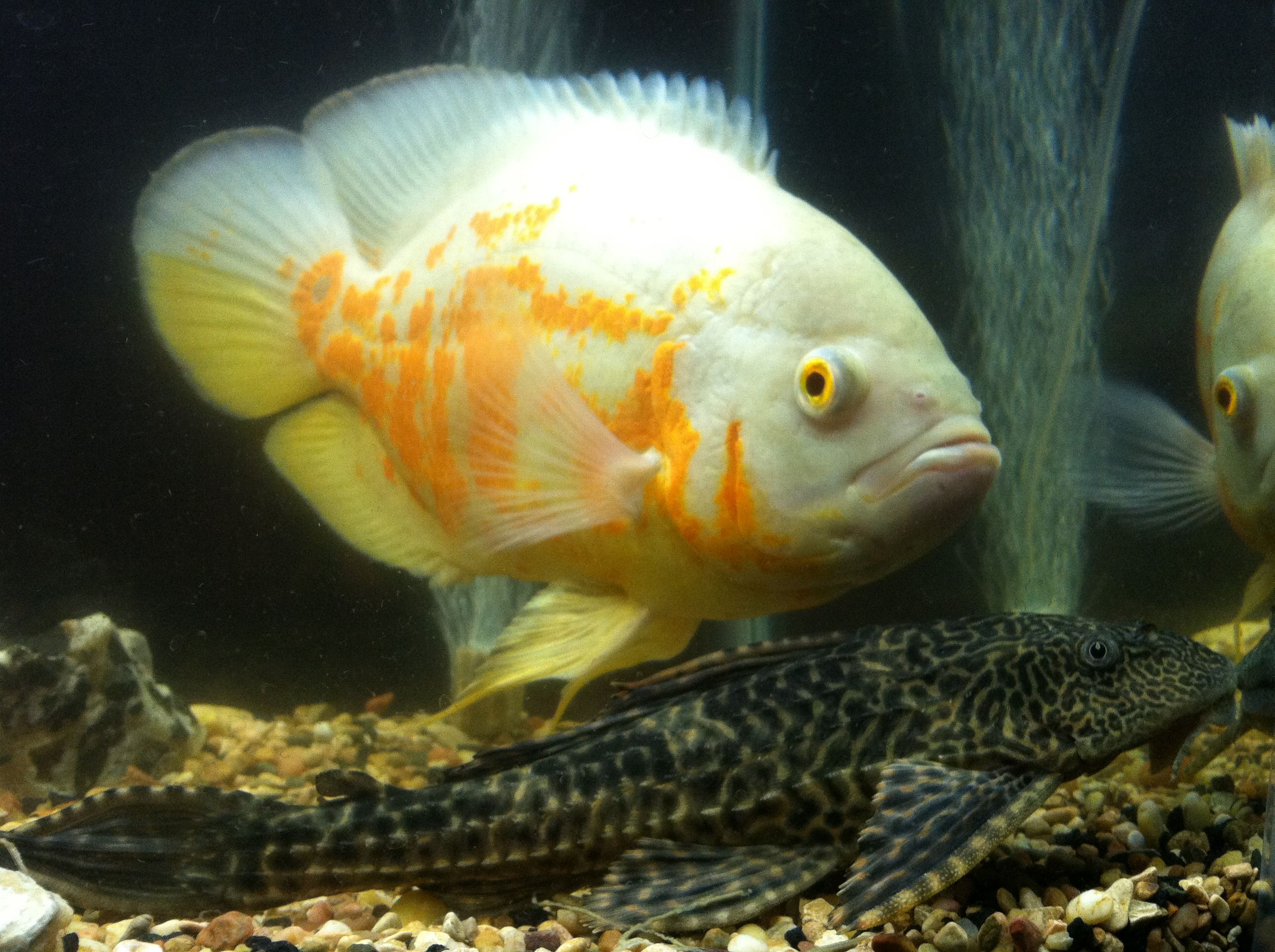 Oscar Fish And Plecostumus Oscar Fish Aquarium Fish Cichlid Fish