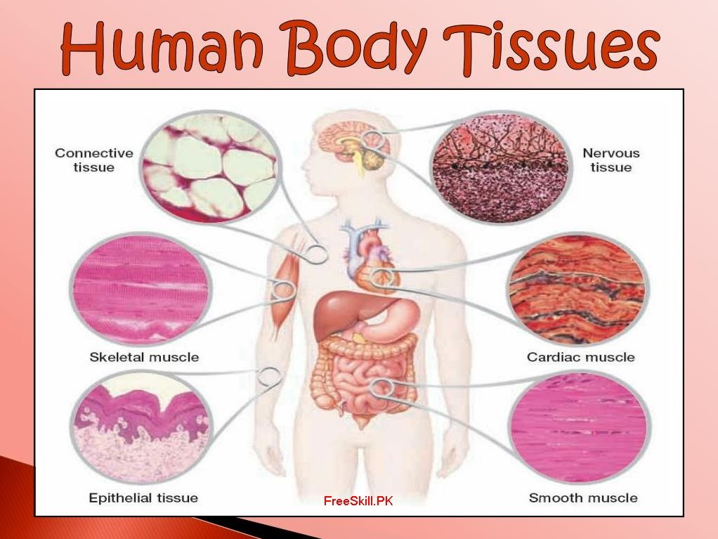 Tissues: Describe Its Types, Function, And Structure | Tissue types, Body  tissues, Tissue biologyPinterest