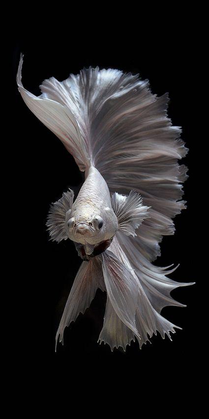 Fish By Visarute Angkatavanich Pez Betta Hermoso Pez Pez Luchador