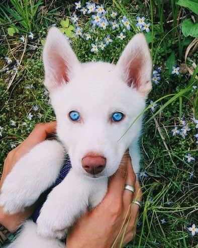 Ice Blue Eyes Cute Animals Cute Dogs Cute Puppies