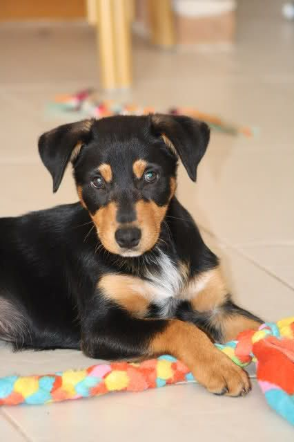 Kelpie Border Collie Cross Pup Working Dogs Dogs Most