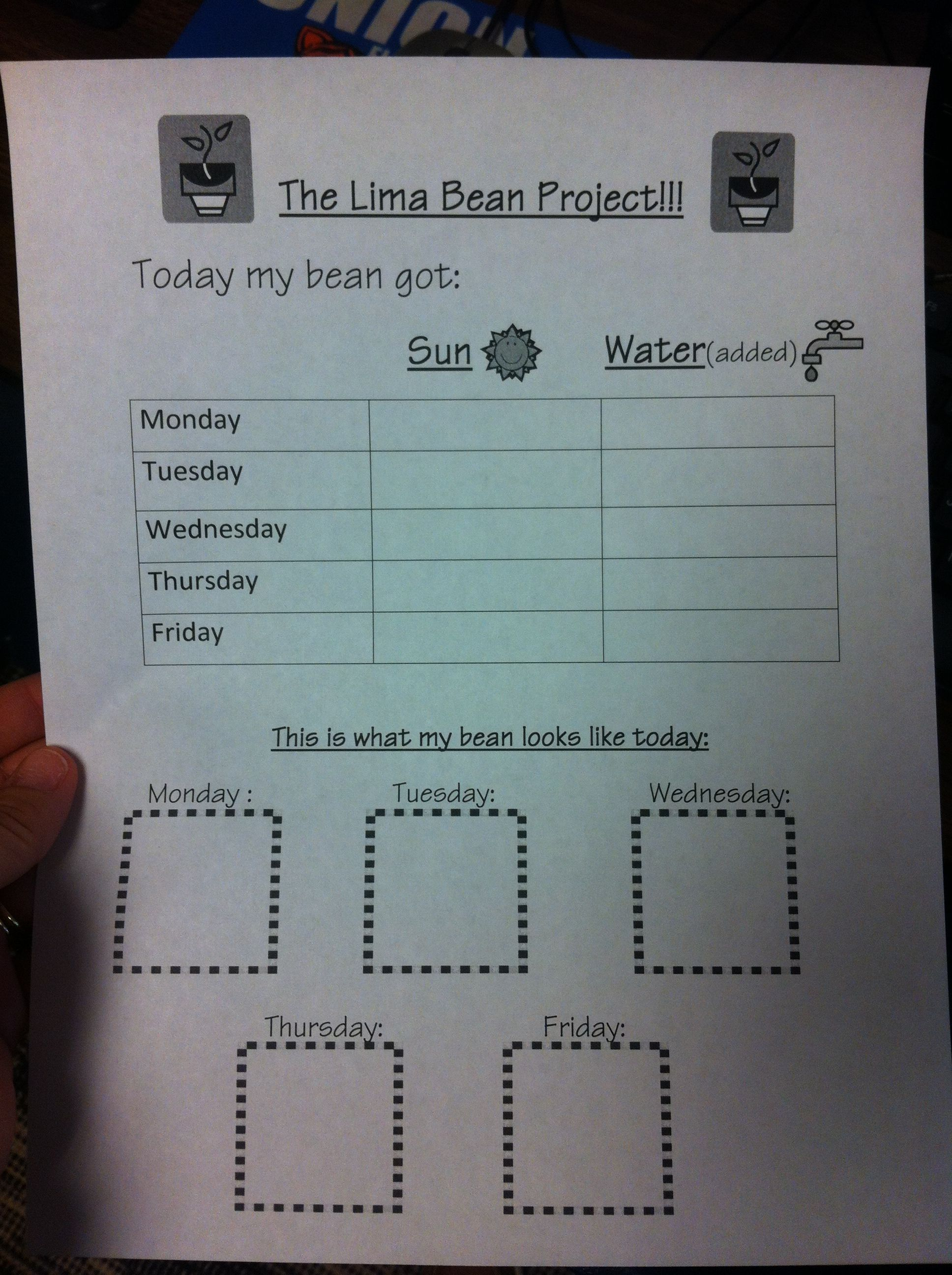 Lima Bean Growing Project For Kindergarten Put A Lima