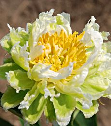 Love This Peony Paeonia Green Halo I Have Green Lotus But Not This One White Flower Farm Flowers Perennials Peonies