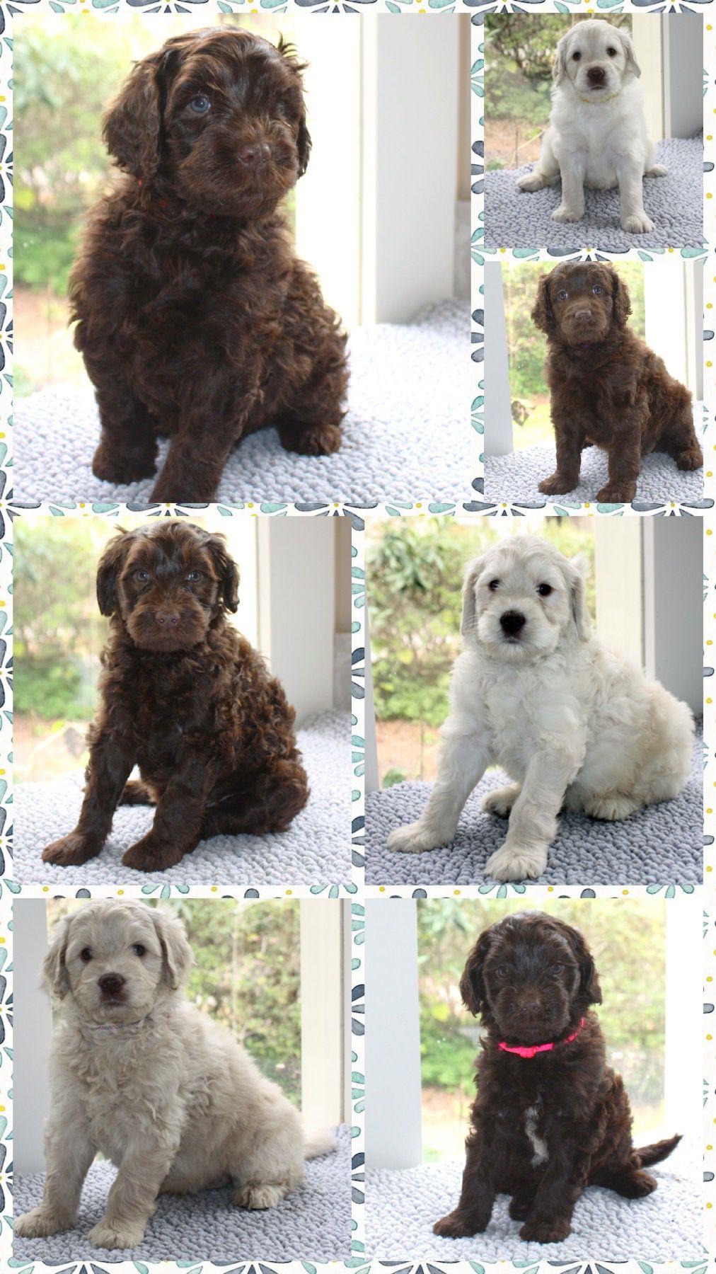 Australian Labradoodle Puppies In 2020 Australian Labradoodle Puppies Labradoodle Puppy Australian Labradoodle