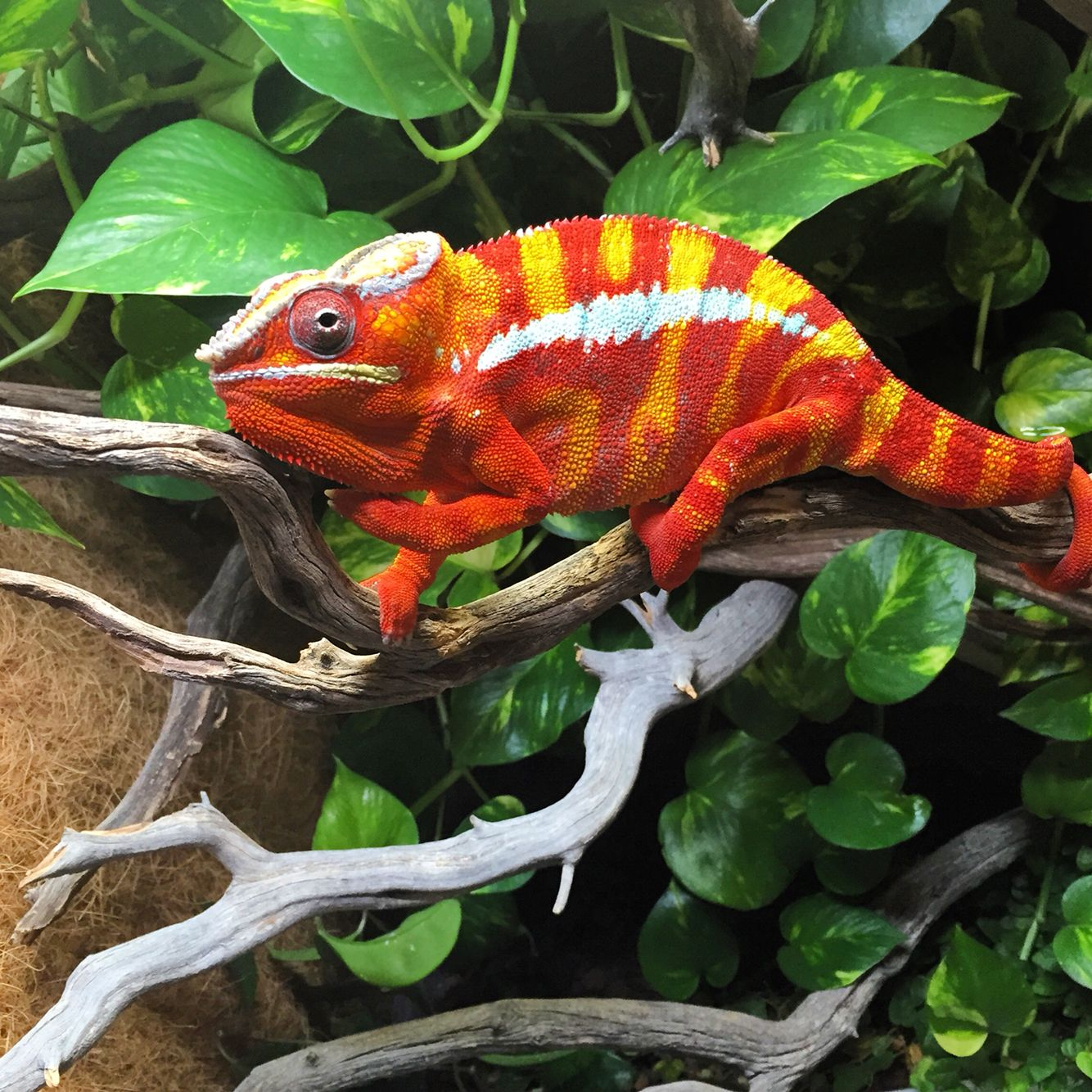 Male Panther Chameleon 'Mesmer'