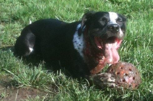 Baxter will play with the Unbreakoball till he drops. What a fun, muddy, slobbery mess!